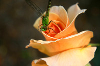 Rose, Dragon Fly